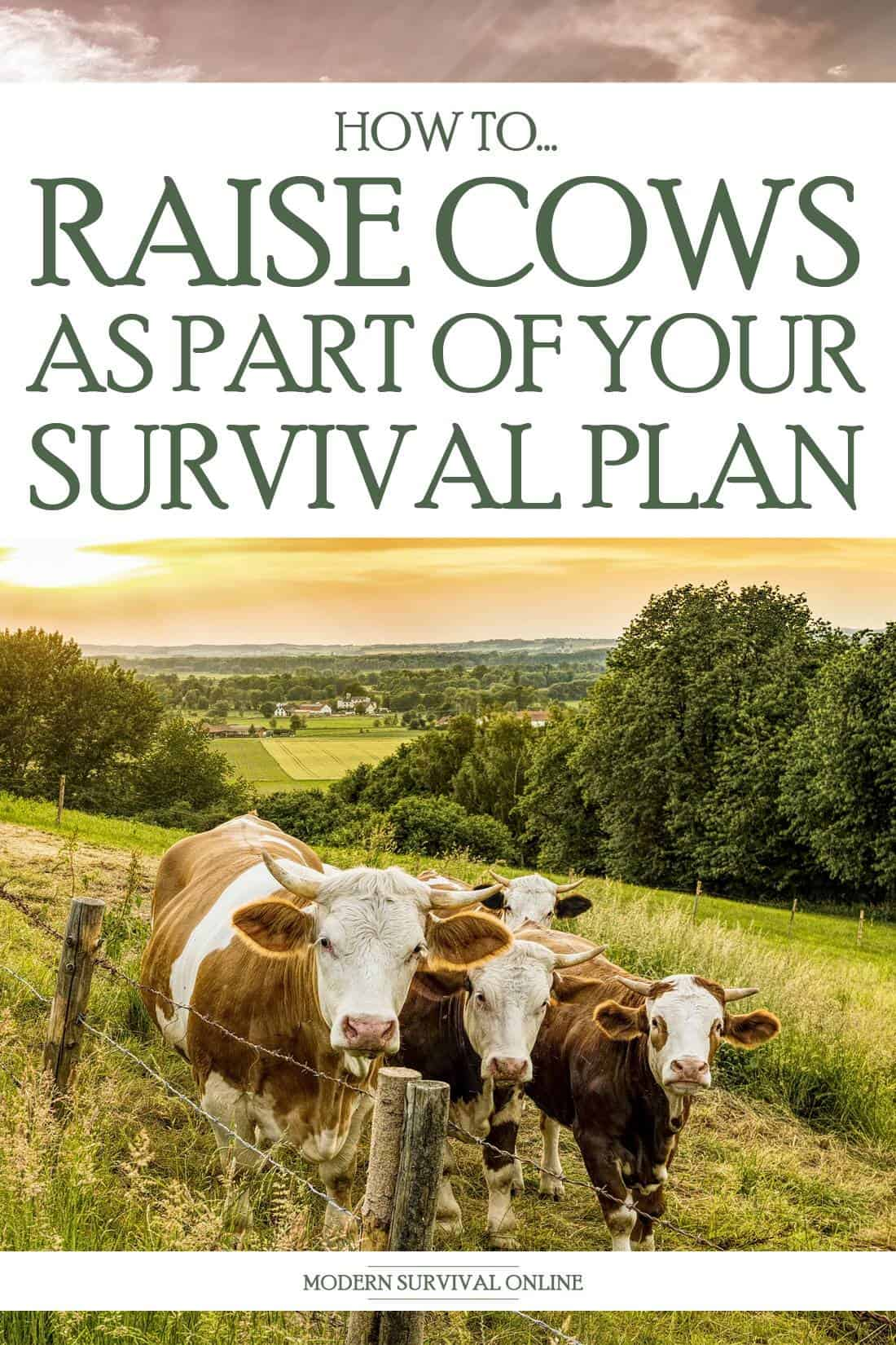 raising cows pinterest