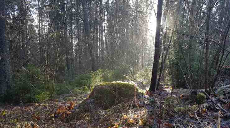 Old tree stump covered in moss while the sun is shining on it-Survivalist Shelter