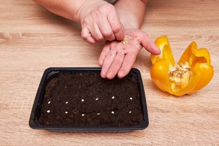 Bell pepper plant seeds in a plastic box container for seedlings with woman's hand-seed starting
