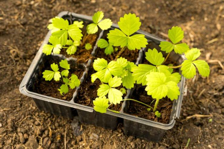 Strawberry seedlings on the background of the earth in the garden-seed starting