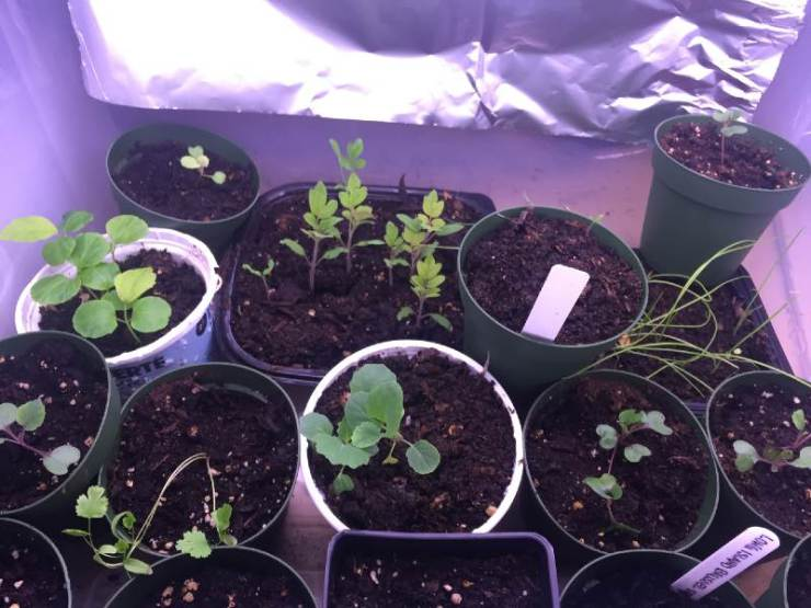 variety of vegetables and herbs started under grow lights-seed starting