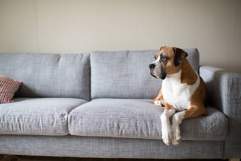 Boxer Mix Dog Laying on Gray Sofa at Home Looking in Window-prepping for shtf