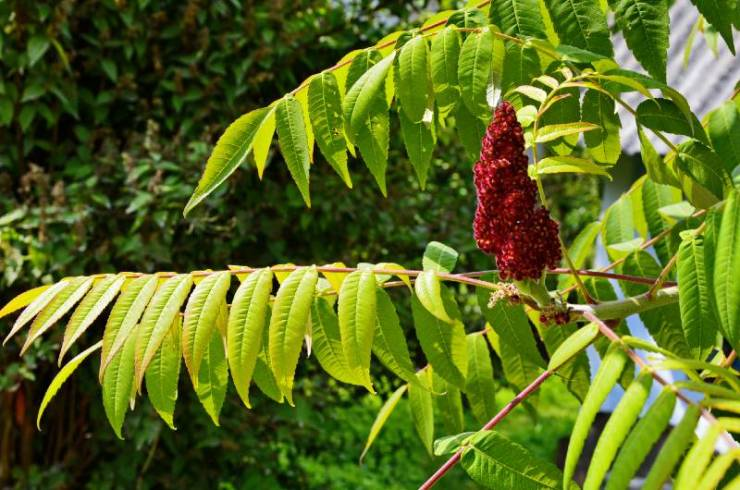 Green leaves and red inflorescences of the seeds of sumac deer or sumac fluffy-Common Poisonous Plants