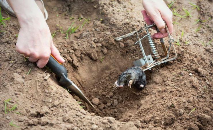 farmer-caught-mole-steel-trap   animal trapping