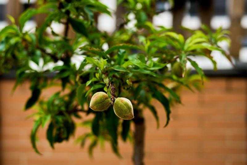 cultivation of small peach in urban garden-Survival Skills
