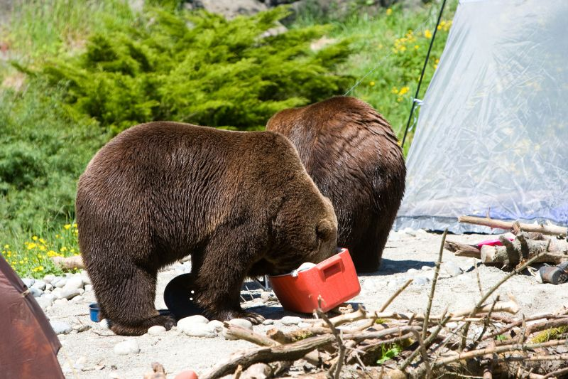Bears looking for food | How to keep bears away from campsite