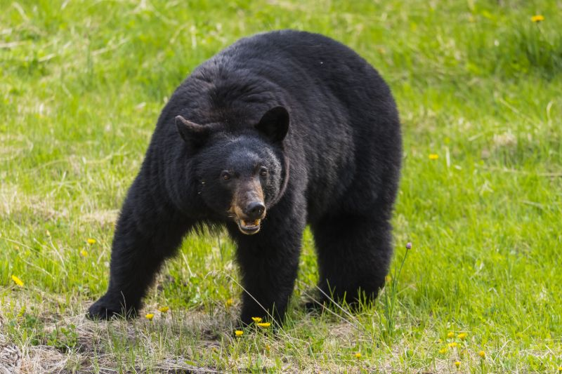 Black bear | How to keep bears away from campsite