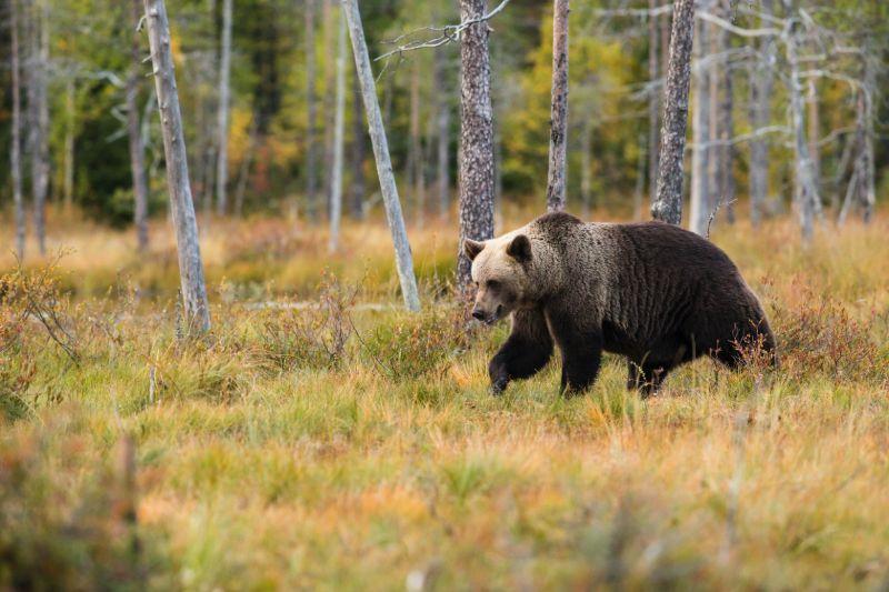 Black bear prowling   Best bear spray