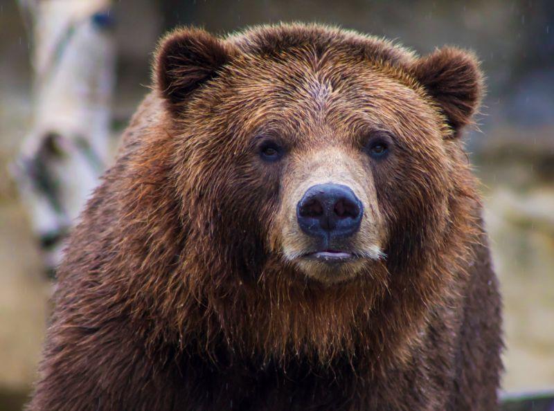 Brown bear   Best bear spray