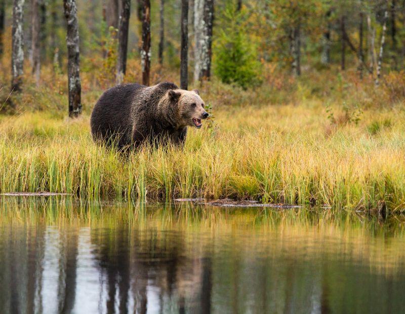 Brown bear near river   Best bear spray