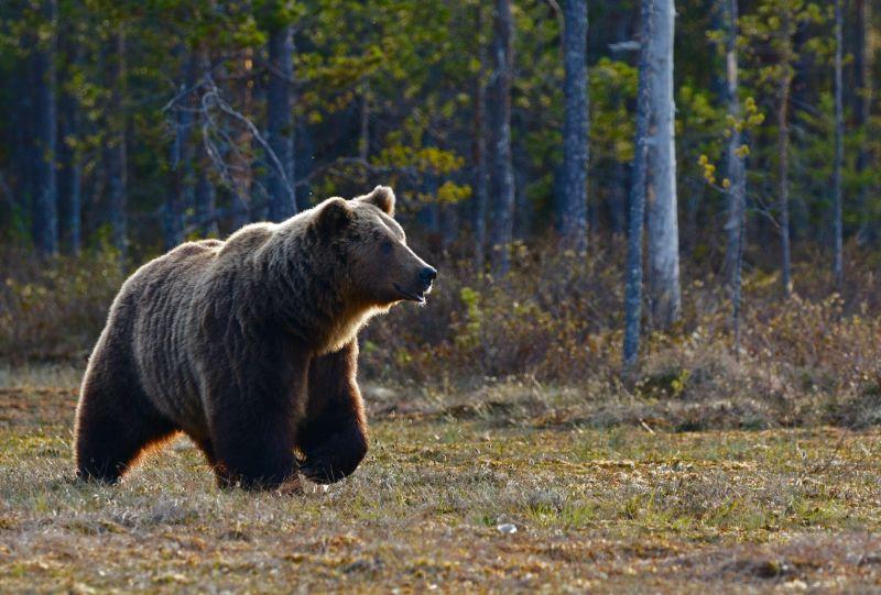 Grizzly bear   Best bear spray