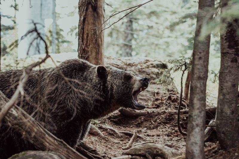 Growling black bear   Best bear spray