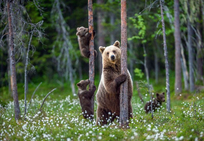 Mother bear and cubs | How to keep bears away from campsite