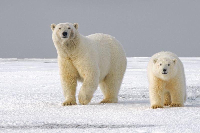 Polar bears   Best bear spray