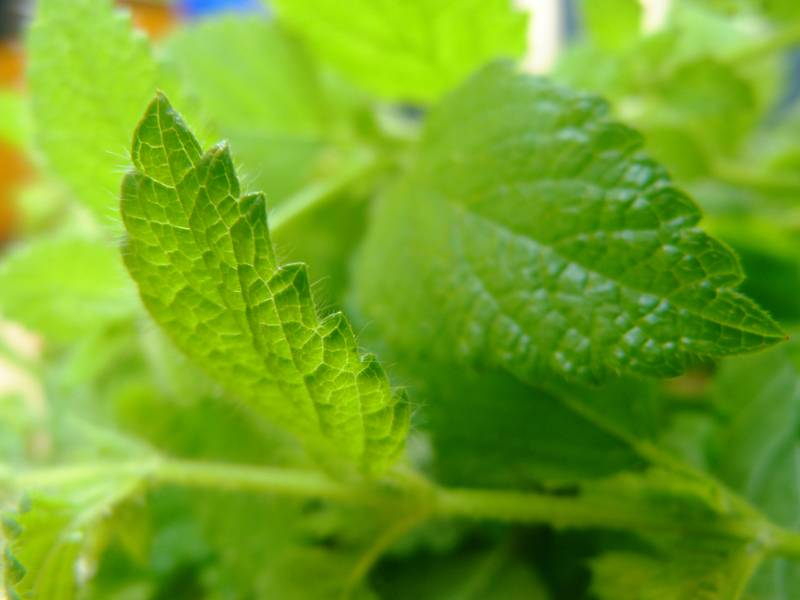 fresh-light-green-lemon-balm-citronella How to get rid of mosquitoes