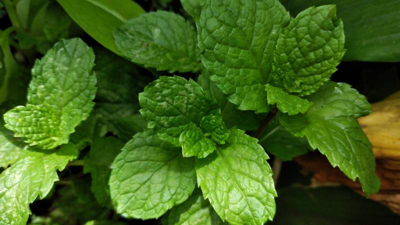 leaves-smell-aromatheraphy How to get rid of mosquitoes