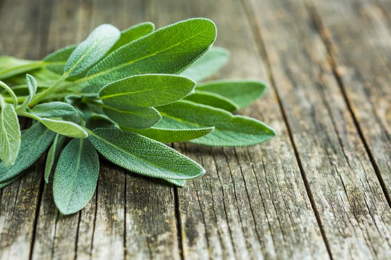 salvia-officinalis-sage-leaves-on-old How to get rid of mosquitoes